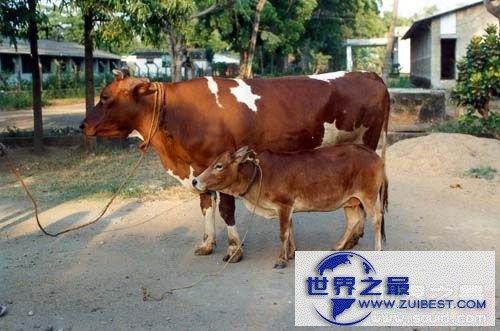 【图】世界上最小的牛