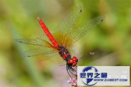 【图】世界上最小的蜻蜓