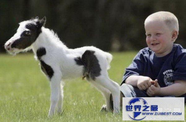 【图】世界上最小的马