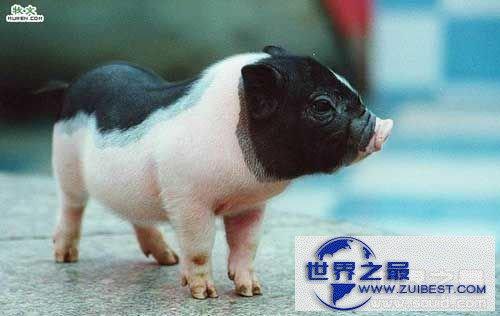 【图】世界上最小的猪