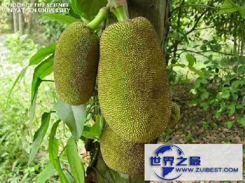 【图】世界上最大的水果