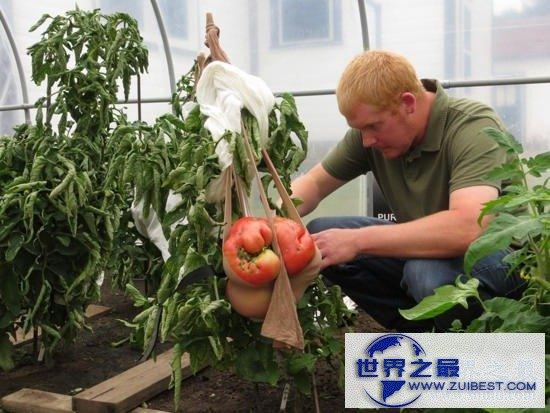 【图】世界上最大的番茄,重达8斤(可供10个食用)