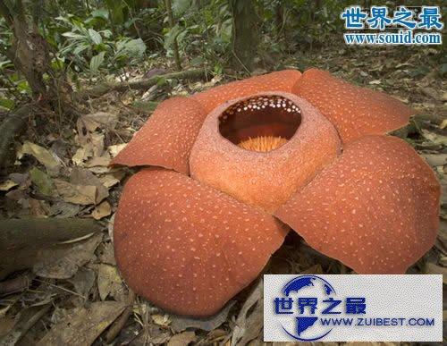 【图】世界上最大的花,大王花图片(传说中的食人花