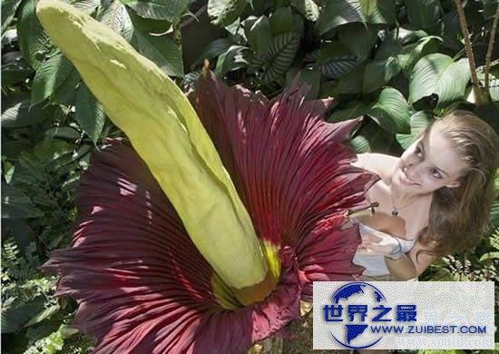 【图】世界上最臭的花,尸香魔芋(腐烂尸体臭800米远