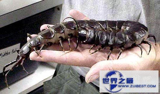 【图】世界上最大的蜈蚣,加拉帕格斯巨人蜈蚣(长0.6