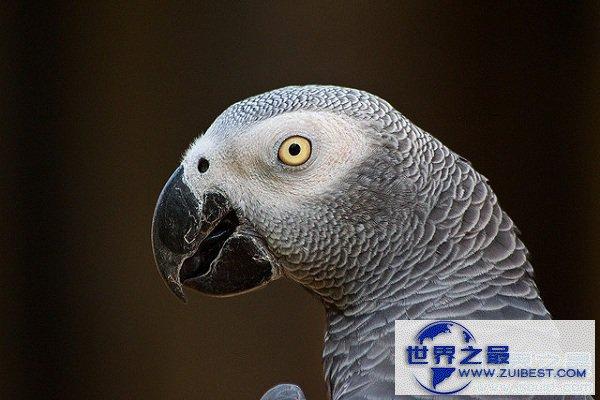 【图】世界上最聪明的鹦鹉