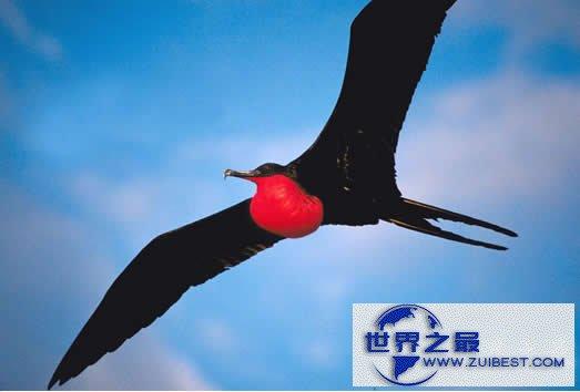 【图】世界上飞得最快的鸟是军舰鸟,418公里/小时