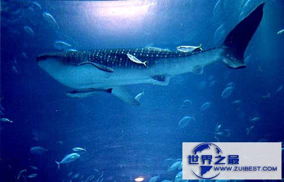 【图】世界上最大的鲸鱼,蓝鲸(舌头上能站50人)