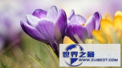 【图】藏红花的功效与作用你知道吗?小花朵大功效!