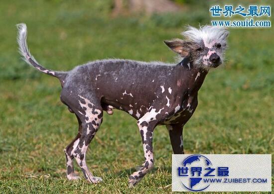 【图】中国最丑的狗,中国冠毛犬(身体没有毛的裸奔犬