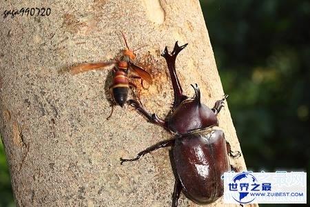 【图】虎头蜂,是中国体型最大的蜂种之一,那么它有