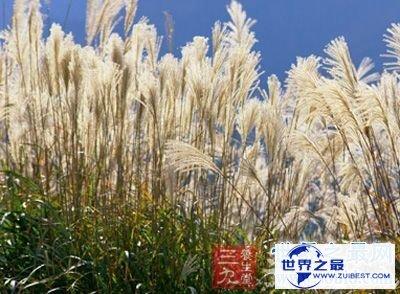 【图】夏日养生良品芦根的功效和作用