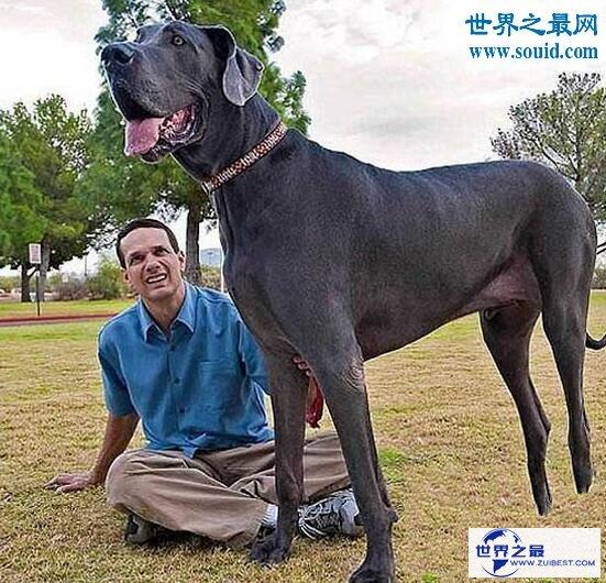 【图】世界最高大的狗,大乔治高达2.2米(比人还高)