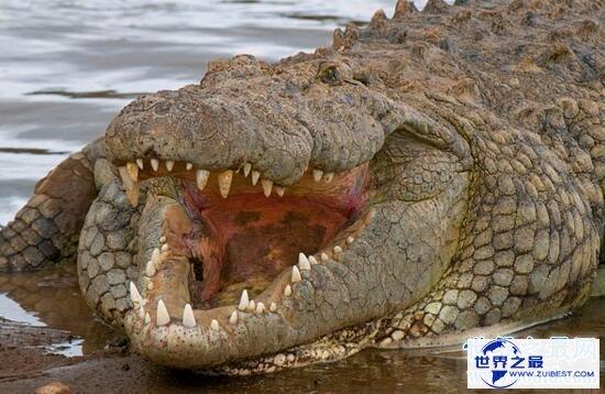 【图】非洲最大的鳄鱼,尼罗鳄(长6米,重1000公斤)