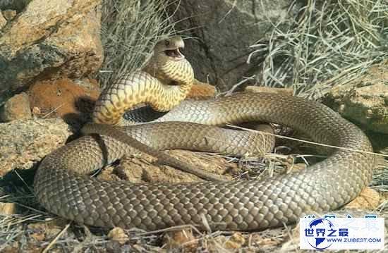 【图】世界十大毒蛇,贝尔彻海蛇一口毒液致死1000人