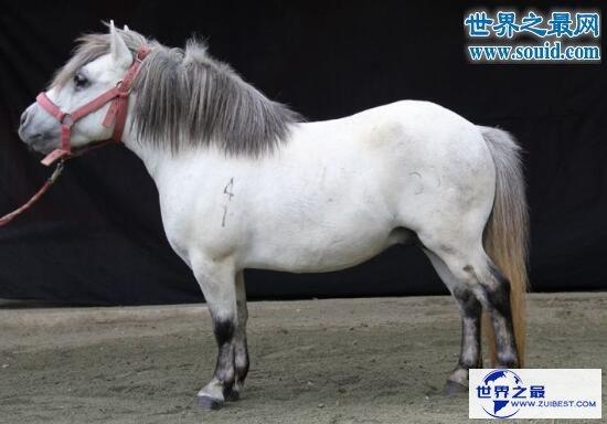 【图】世界上最矮的马,中国德保矮马(仅80厘米)