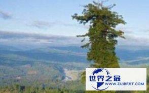 澳洲杏仁桉树 156米
