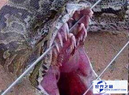 【图】蛇冠子传说中快化龙的蛇的龙角你见识过吗