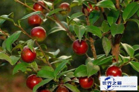 【图】油茶树所产的油茶籽油非常受欢迎 副作用也很大