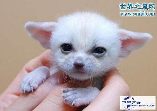 【图】世界上最小的狐狸,超级萌的耳廓狐(只要手掌大