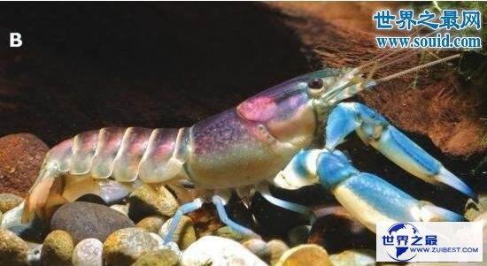 【图】世界上最美的龙虾,七彩的银河系小龙虾