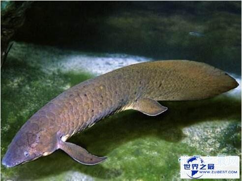 【图】非洲杜兹肺鱼,没水的情况下暴晒4年不死(图片