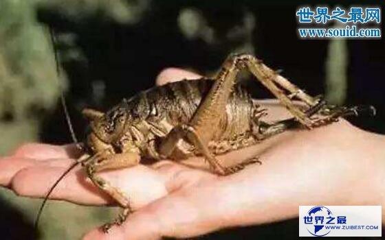【图】世界上最大的昆虫巨沙螽(zhōng),有三只老鼠的重