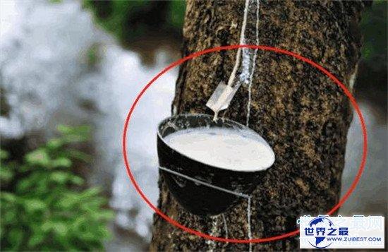 【图】世界最神奇的树之一牛奶树 能代替奶牛产生牛奶