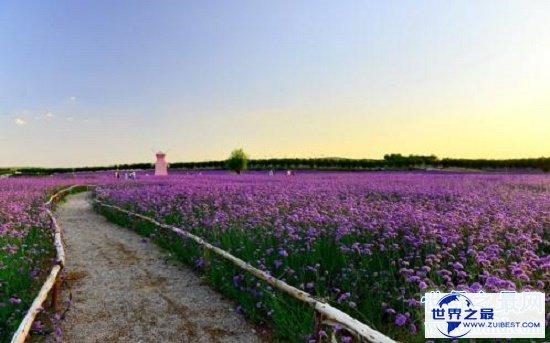 【图】薰衣草的花语代表期待恋情,关于薰衣草漂亮的