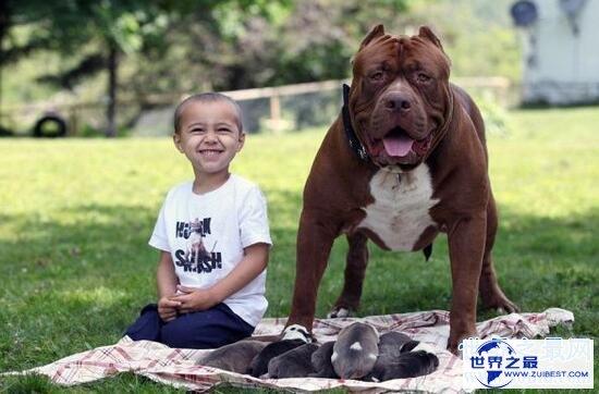 【图】世界最大斗牛犬,站起来比人还高重达79公斤