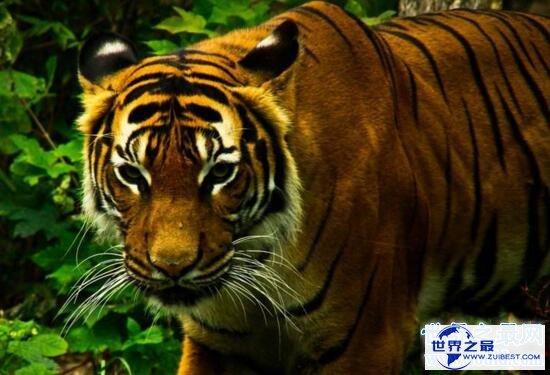 【图】世界上最大的老虎,西伯利亚虎(仅剩不到500只