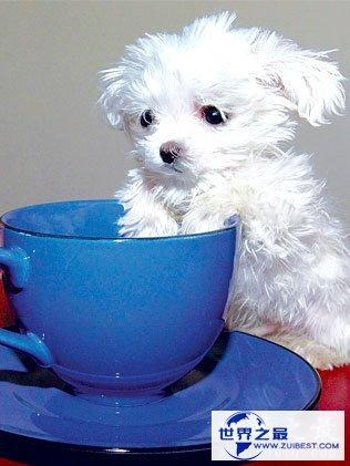【图】关于狗的10个世界之最,最贵的狗1000万(纯红藏獒