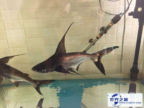 【图】短小精悍的成吉思汗鲨,它们是可能被饲养的鲨