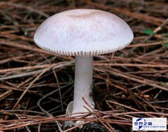 世界上最毒的蘑菇 外貌人畜无害毒性却无药可救
