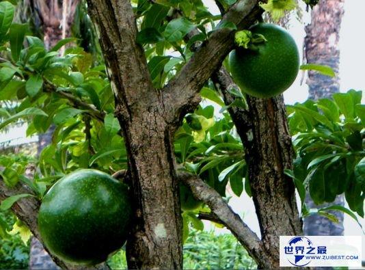 炸弹树成熟的果实会爆炸 有手榴弹威力