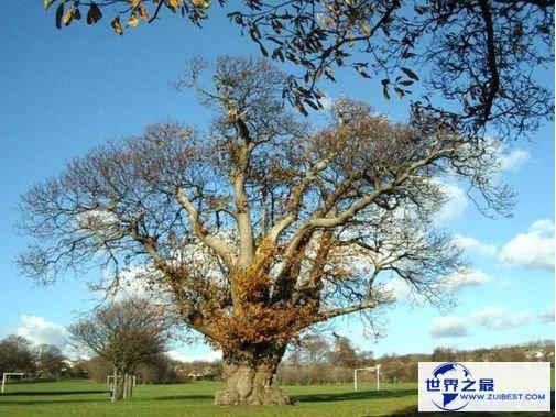 世界上最粗的树 百骑大栗树周长55米