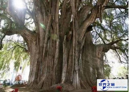 百骑大栗树
