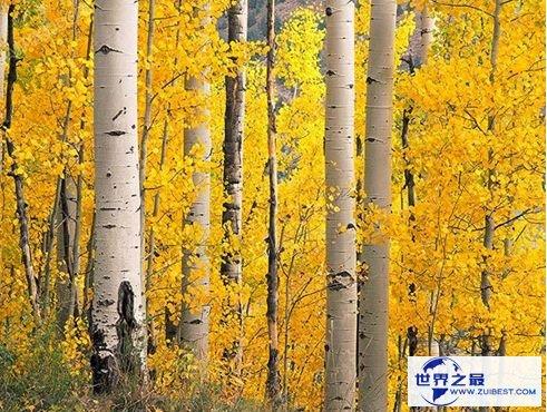 世界上最硬的树木 铁桦树简介