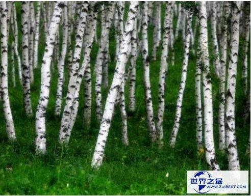 铁桦树的利用