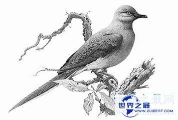 【图】旅鸽是鸟类的一种 到目前为止旅鸽已经齐全灭绝