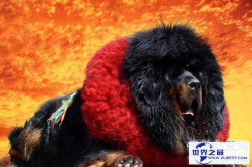 【图】鬼藏獒是什么它是世界上10大恶犬之一