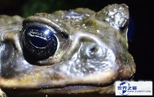 【图】世界上最大的蟾蜍是海蟾蜍,比你见过的一切蟾