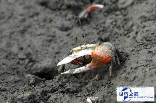 【图】巨招潮蟹,生存在海边的弄潮儿,为何一只蟹钳