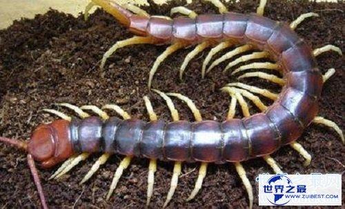 【图】巨人蜈蚣能和蛇对打的蜈蚣到底是什么样的
