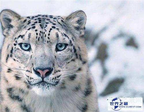 【图】保护濒危动物是每集体的责任 七种濒危动物引见