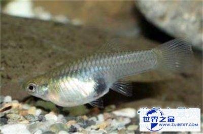 【图】食蚊鱼看起来这么小 没想到危害这么大呢