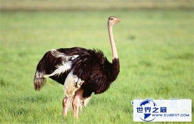 【图】世界上最大的鸟竟然是它 万万没想到