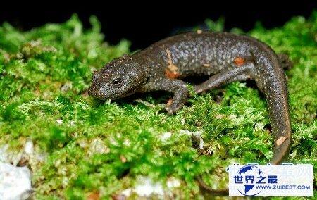 【图】你见过哪些品种的蝾螈图片 咱们应该怎样养它