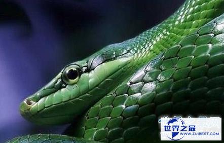 【图】绿茸线蛇 一千六百岁还是幼儿这是要修炼到化龙