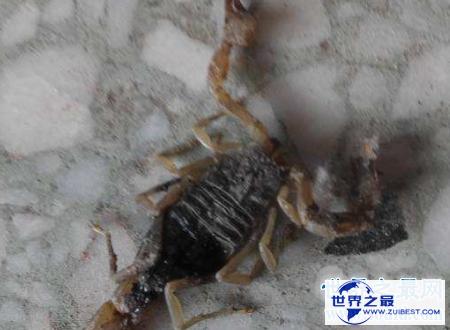 【图】巴勒斯坦毒蝎遇到了你可要小心点很风险的